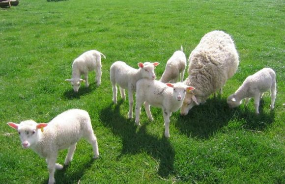 Interesting facts about fat-tailed sheep breeds